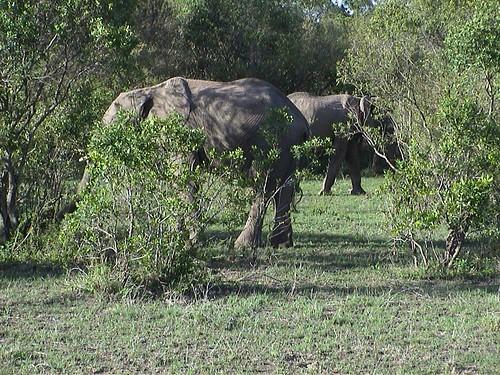 Mara Elephant Behind Bushes