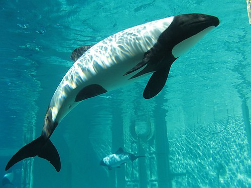 Pictures of Commerson's dolphin 4