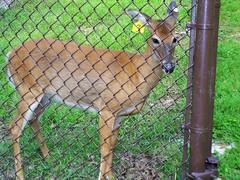 """Whitetail Deer #3 (rcvernors) Tags: animal geotagged zoo wildlife doe deer wv westvirginia frenchcreek whitetaildeer county"""" rcvernors frenchcreekgamefarm """"upshur westvirginiastatewildlifecenter"""