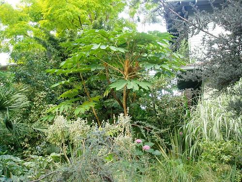 Tetrapanax Steroidal Giant original plant