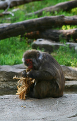 Macaque With RAope Toy (aplseed photography) Tags: summer animals fun afternoon wildlife sunny blankparkzoo desmoinesiowa