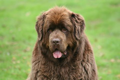 Just got to love him (chris_rshtn) Tags: dog brown newfoundland faces joshua many