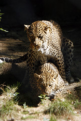 Leopard Love (howardpennphoto) Tags: animal mammal bigcat carnivore leopards marylandzooinbaltimore animalsmating africanleopards