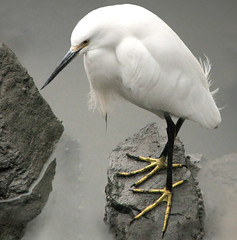 A solid foundation (wolfpix) Tags: california bird heron water birds fauna canon wildlife birding parks conservation pssaro uccelli albany sanfranciscobay pajaro aus waterfowl vgel  birdwatching soe oiseau gara vogel garas oiseaux snowyegret hron uccello  smrgsbord fglar zog faune fgel lintu ibon ptaki  egrettathula naturesfinest ptci wildnis    eastshorestatepark habitatrestoration 100comments eastbayregionalparks   canonpowershots3is  abigfave shieldofexcellence  animaisselvagens impressedbeauty avianexcellence excellenceinavianphotography goldenphotographeraward noncoloursincolour ysplix  betterthangood everydayissunday goldstaraward unlimitedphotos 100earthcomments 100commentgroup lintujen  shpendve