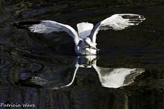 Seagull & Fish (Patricia Ware) Tags: huntingtonbeach bolsachica canon40d 300mmlenswith14teleconverter