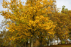 Golden Rye (Adam Swaine) Tags: county uk autumn trees england sky green london english nature beautiful leaves yellow canon landscape golden wooden flora britain parks east 2010 peckhamrye naturelovers greaterlondon thisphotorocks adamswaine mostbeautifulpicturesmbppictures wwwadamswainecouk londonautumnnov