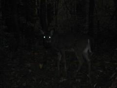 Potomac Overlook Walk - Deer Eyes (Mrs. Gemstone) Tags: park public virginia eyes deer glowing potomacoverlook potomacpalisades
