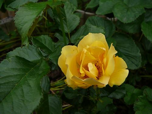 Rosengarten 2007 (16)