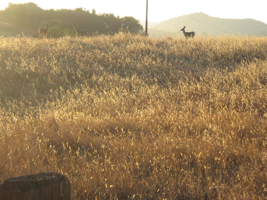 More deer. Same meadow at Trippet Ranch.