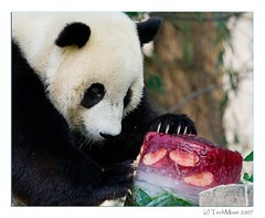 Tai's 2nd Birthday (techmuse) Tags: zoo panda tai nz 2ndbirthday 9691 abigfave fcawinner