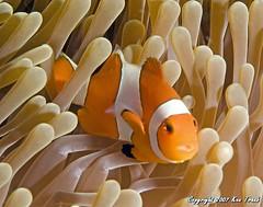 9314 Clown fish