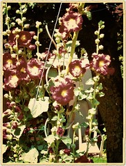 Hollyhocks (gatowlion) Tags: photoshop vintage hollyhocks bildbearbeitung stockrosen gealtert