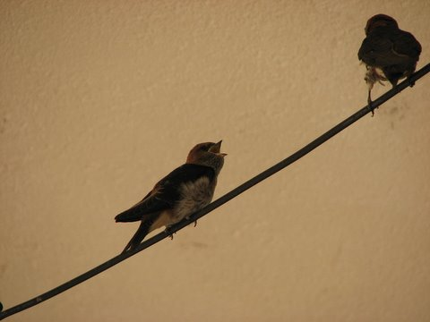 mother and baby swallow
