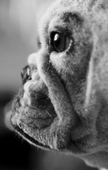 A Face Only a Mother Could Love (Dean of Photography) Tags: portrait bw dog pet animal big bulldog frenchie frenchbulldog thumbsup momma pudge bigmomma smushedfaceddog photofaceoffwinner photofaceoffplatinum pfogold thechallengefactory fotocompetition fotocompetitionbronze herowinner