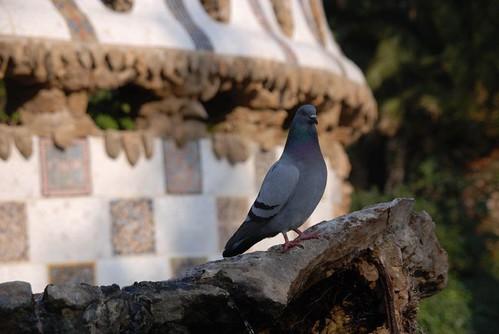 Pigeon - Park Güell, Barcelona - Spain