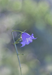 Cherish the moment (Lightspectral) Tags: blue light flower nature garden bell bokeh bellsima tandelicada poetryoflightnet copyrightmariaschulzevorberg wwwpoetryoflightnet copyright2013 mariaismanahschulzevorberg koenigswintergermany