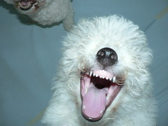A Laughing Bichon Frise (garyhymes) Tags: dog smile tongue mouth puppy fur nose teeth gums laugh bichon fangs dognose k9 landofsmiles bihonfrise