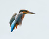 Oh no, I forgot to flap !!!!!!!!! (Andrew H Wildlife Images) Tags: bird nature wildlife kingfisher coventry warwickshire brandonmarsh canon7d ajh2008