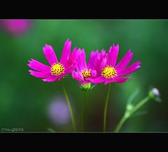 Cosmos (Dalang55555) Tags: pink flower nocrop cosmos    img0364 sooc