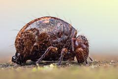 The Glob (johnhallmen) Tags: macro insect m42 a2 springtail stacker collembola canon5dmkii schneiderkreuznachcomponon28mmf4 cplnovoflex bellowscanon 270exzerene