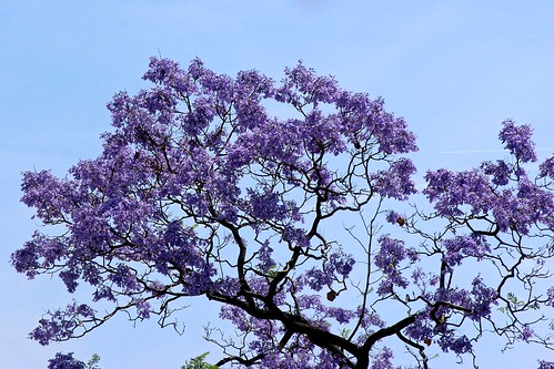 Jacaranda through my window (2)