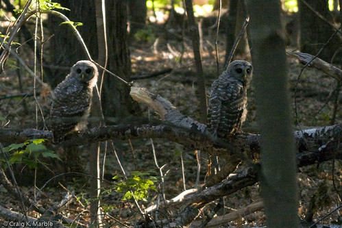 Barred Owl Two