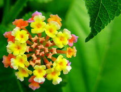 Lovely Lantana (Balaji.B ( 1.8 Million Views and Growing)) Tags: pink india flower macro green nature leaves yellow garden botanical amber cool flora colours s buds lantana platinum instantfave p1f1 aplusphoto 25fave 5bangs favemegroup7 olympussp550uz superhearts excellentphotographerawards heartaward colourartaward thechallengegame challengegamewinner greenlantana