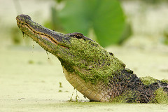 Gator (Let there be light (A.J. McCullough)) Tags: texas animalplanet brazosbend unature unaturefav
