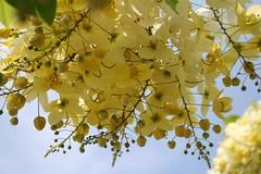 Cassia Fistula (marylea) Tags: flowers flower tree yellow hawaii bigisland kona 2007 cassiafistula goldenshowertree cfistula cassieae