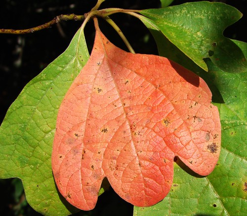 A leaf from a Sassafras tree.
