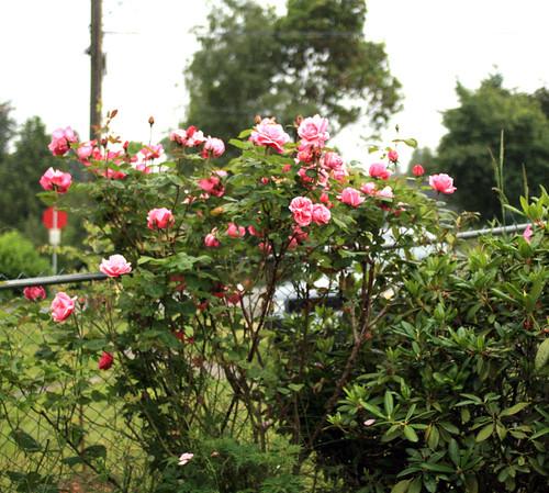 epic rosebush