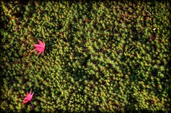 Fallen Momiji (JapanDave) Tags: autumn red green yellow japan photoshop canon aperture    hdr aichiprefecture japanesemaples  mikawa photomatixpro  eos450d   davidlaspina rebelxsi kissx2 chubu topazadjust 55250efsis okazakicity japandave japandavecom  honshu