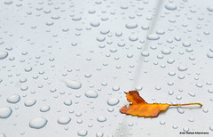 Leaf (Rafakoy) Tags: street city autumn newyork color colour tree fall wet water colors car rain digital season leaf drops colours image manhattan images drop sample avenue afsnikkor35mmf18g nikond7000