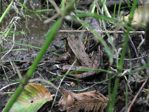 Red legged frog on the South Fraser Witness Trail