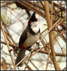 Red Whiskered Bulbul (nkumar_MMX) Tags: birds canon bangalore sigma hebbal bulbul redwhiskeredbulbul 550d 150500