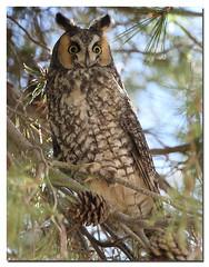 Long-eared Owl   Larry Seman (lselman) Tags: california ca bird ear owl longearedowl selman merceyhotsprings panochevalley