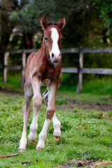 Time to Play (grantulla) Tags: new horse pony newborn chestnut welsh babyhorse foal welshcob marefoal welshpony