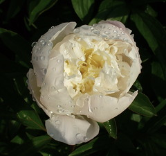 Perfect peony! (Lalallallala) Tags: white water helsinki waterdrop peony afterrain paeonia top20flowers talvipuutarha