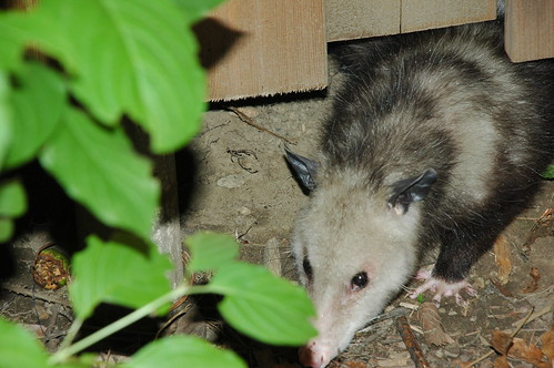 Virginia Opposum, Didelphis Virginiana, Flatbush, Brooklyn