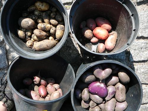 Kartoffelernte 2007