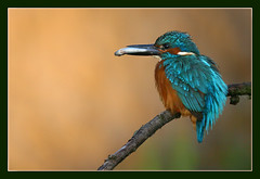 A dream in blue (hvhe1) Tags: blue bird nature animal bravo wildlife interestingness1 dream fisch kingfisher catch magicdonkey specanimal animalkingdomelite hvhe1 hennievanheerden theunforgetablepictures