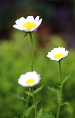 Flower 1 - by 96dpi