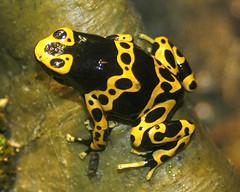 Bumblebee frog - by ucumari