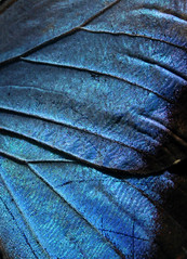 wing texture (opacity) Tags: seattle abstract macro texture animal butterfly washington wing insects textures layer wa wrinkled pacificsciencecenter butterflyhouse tropicalbutterflyhouse t4l texturesforlayers textureforlayers textures4layers texture4layers