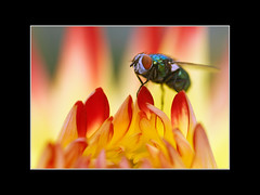 """Alien on Fire"" (guenterleitenbauer) Tags: pictures flower nature floral animal animals fauna canon garden linz fire tiere fly photo eyes flora bravo flickr foto image photos blossom echo natur picture insects blumen images explore fotos botanic alive augen blume makro blte feuer garten tier insekten 2007 fliege gnter blten botanik botanischergarten animalphotography naturesfinest tierfotografie wonderworld zoologie flickrexplore greatphotographers lebewesen supershot magicdonkey explored specanimal animalkingdomelite abigfave august2007 worldbest anawesomeshot superaplus aplusphoto leitenbauer superbmasterpiece infinestyle diamondclassphotographer megashot bratanesque frhwofavs thegoldenmermaid ostrellina photoexel"