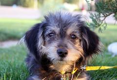 Hapu:D (matiya firoozfar) Tags: dog animal canon hapu   eos400d matiya  matiyafiroozfar   firoozfar  400d haifessssssssss