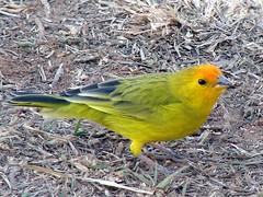 Canastra 7-9-07 401 (calil_eduardo) Tags: natureza aves serra terra canastra canário