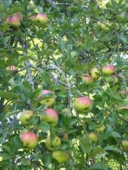 maasikaõunapuu