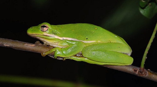 Green Treefrog - Murray County
