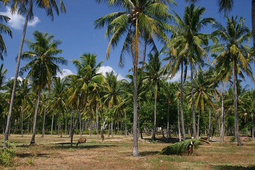 Palm trees on Lombok